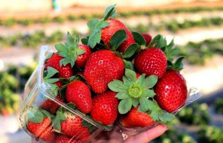 משק שש – קטיף תותים במושב גאולים בשרון