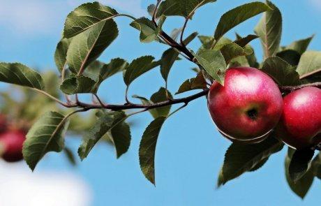 לקצור את הפירות ואת המחמאות