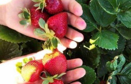 קטיף תותים צור יגאל חוויה לכל המשפחה!