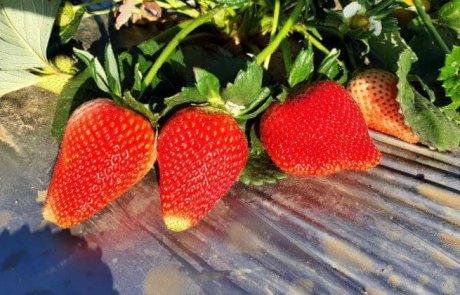 קטיף תותים בדוניה גידולי השדה בבנימינה