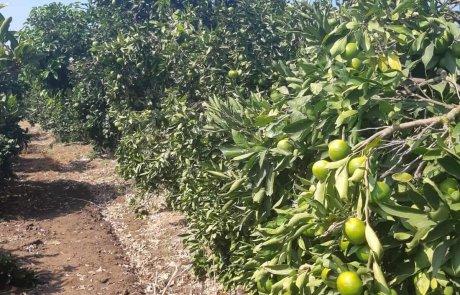 קטיף פירות הדר במשתלת נורית בביתן אהרון